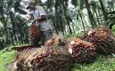 Сбор плодовмасличной пальмы, из которых изготавливается пальмовое масло